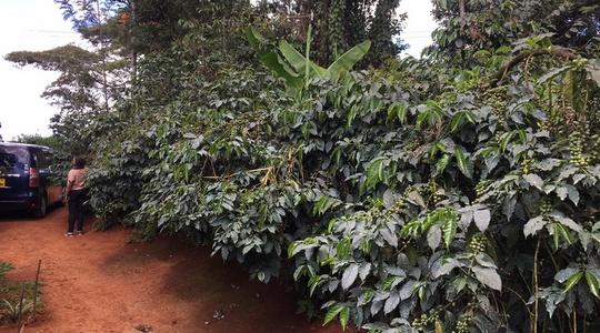 Coffee Field in Embu County